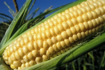 close up corn